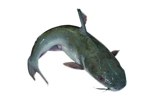 1594731530-h-250-Fresh-Cat-Fish.png